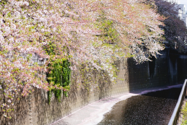 Photographe gwendoline noir Nakameguro japon tokyo sakura-2